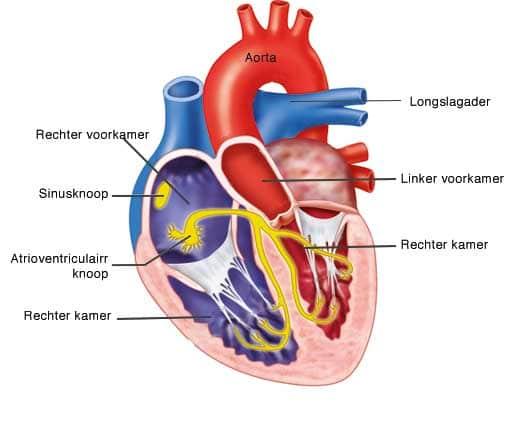 anatomie hart